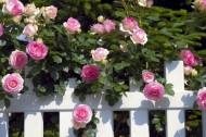 róże. Fot. Fotolia