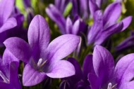 Dzwonek (Campanula isophylla). Kwiaty te nie powinny stać w zbyt ciepłym miejscu ani w okresie letnim, ani w zimowym. Lubią pomieszczenia jasne i przewiewne, lecz nie należy ustawiać ich w przeciągu.